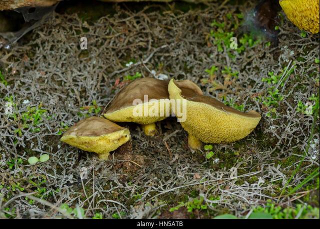 Weeping bolete, granulated bolete, Suillus granulatus, a pored edible mushroom, Andalusia, Spain - Stock Image