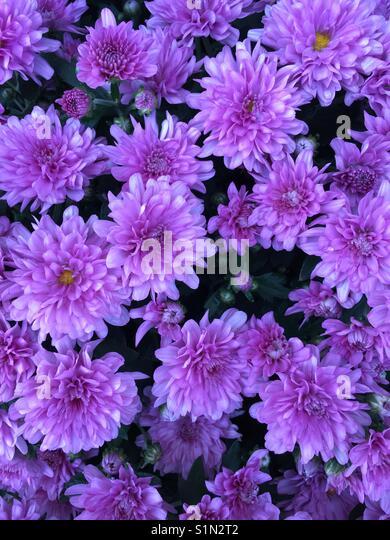 Purple flower background or wallpaper - Stock Image