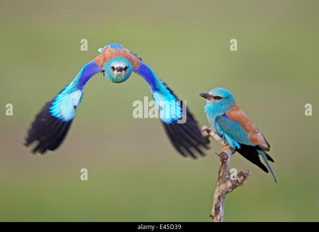 European Roller (Coracias garrulus) pair, one in flight, Pusztaszer, Hungary, May 2008 - Stock Image