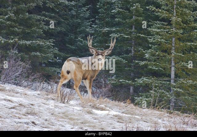 A male mule deer standing looking back. - Stock Image