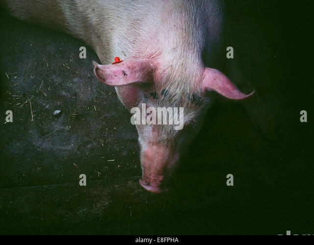 Overhead view of a pig on farm, Italy - Stock Image