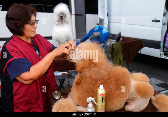 Nevada Las Vegas Convention Center centre dog show groomer working woman owner trainer combing poodle - Stock Image