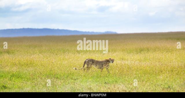 Cheetah on Masai Mara plain Kenya - Stock Image