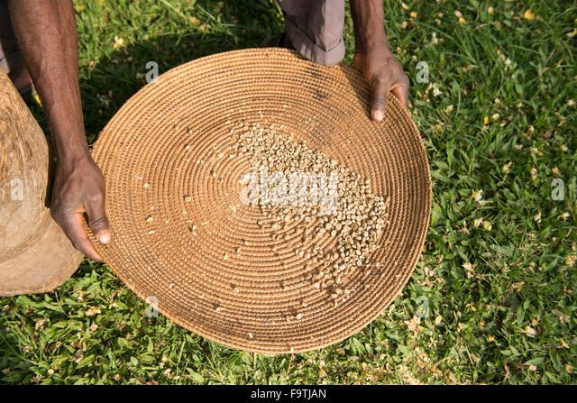 Coffee beans, Omwani Women's Coffee Cooperative, Uganda - Stock Image