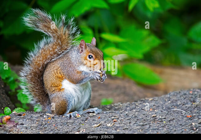 Eastern Gray Squirrel with Peanut - Stock Image
