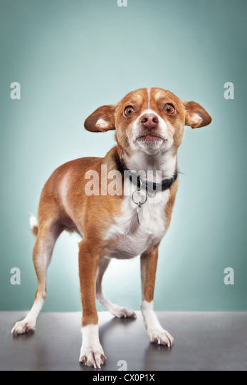Studio portrait of chihuahua - Stock Image