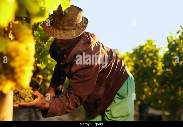Farmer picking up the grapes during harvesting. Man cutting grapes in vineyard. - Stock Image