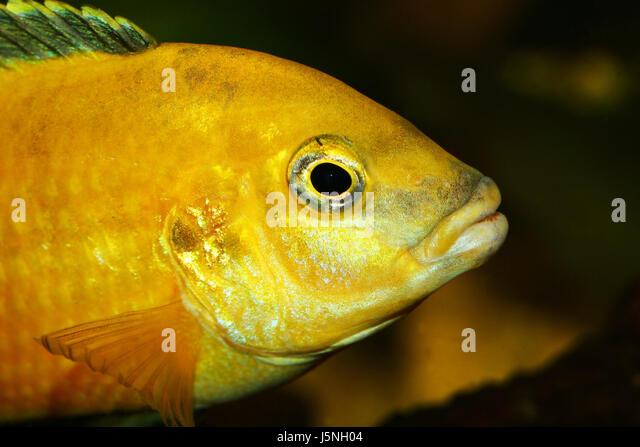 Labidochromis stock photos labidochromis stock images for Malawi buntbarsch
