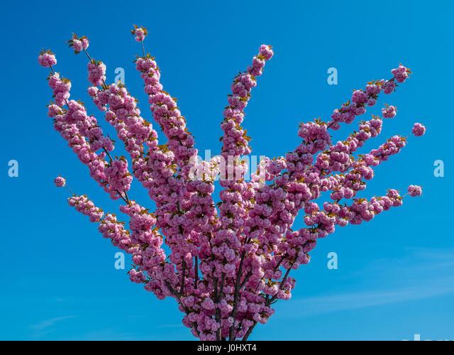 Ornamental Cherry tree in full blossom. - Stock Image