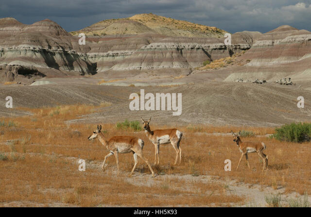 Pronghorn antelope Utah Great Basin desert - Stock Image