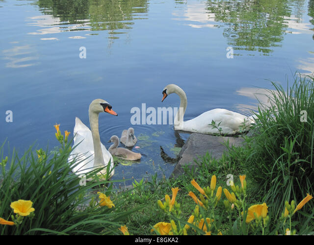 USA, New York State, New York City, Huntington, Adult swans with two cygnets at park - Stock-Bilder