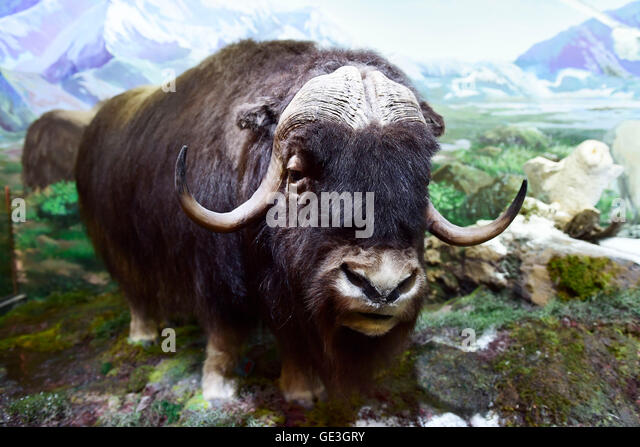 Hangzhou. 22nd July, 2016. Photo taken on July 22, 2016 shows a musk-ox specimen at a wild animal exhibition at - Stock Image