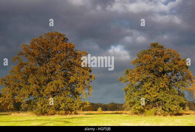 Open meadow in floodplain with solitary oaks and dark clouds, autumn, Middle Elbe Biosphere Reserve, Dessau, Saxony - Stock Image
