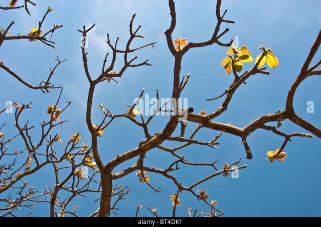 Tree branches in Brazil - Stock Image
