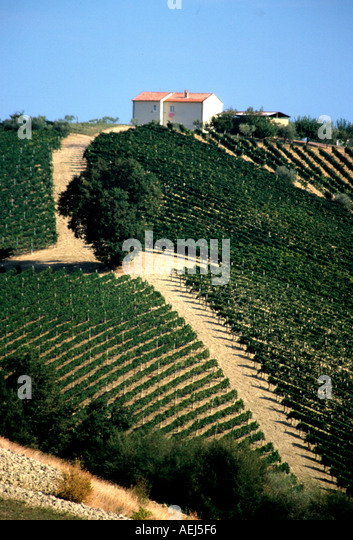 vinyard in Le Marche Italy - Stock Image