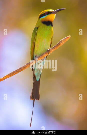 Rainbow Bee-eater (Merops ornatus) - Stock-Bilder