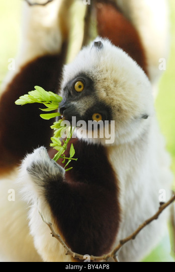 Coquerel's Sifaka (Propithecus coquereli) feeding in the dry deciduous forest of Ankarafantsika National Park, - Stock-Bilder