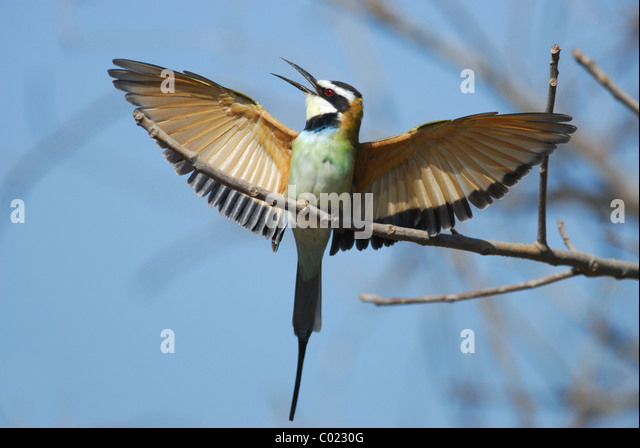 White-throated Bee-eater (Merops albicollis) displaying in The Gambia. - Stock-Bilder