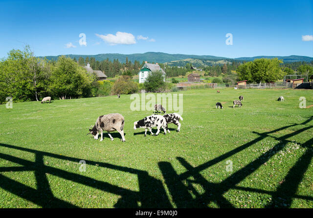 The ancient breed known as Jacob sheep, O'Keefe Ranch, Vernon, Okanagan Valley, British Columbia, Canada - Stock Image