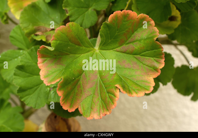 Single leaf redenning showing general deficiency on a container grown zonal pelargonium - Stock Image