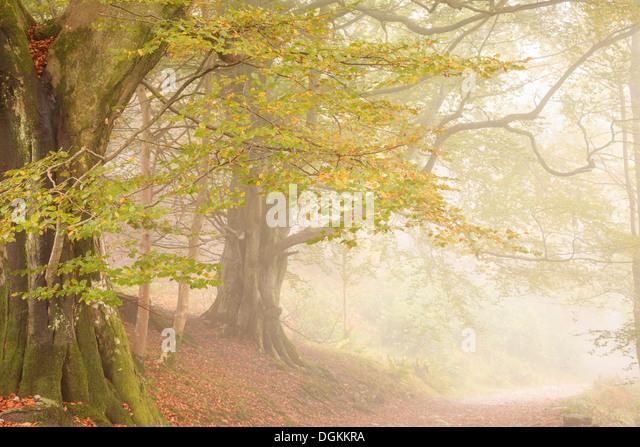 Trees in mist near Grasmere. - Stock Image