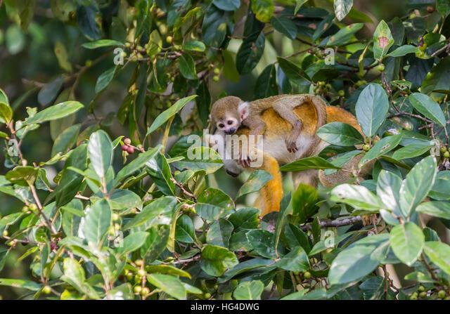 Mother common squirrel monkey (Saimiri sciureus) with infant in the trees on the Nauta Cao, Loreto, Peru, South - Stock Image