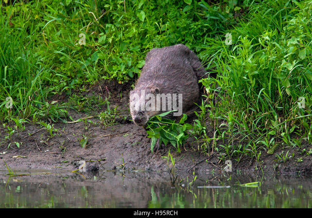 Eurasian beaver / European beaver (Castor fiber) on lake shore dragging stem with leaves for food cache to water - Stock Image