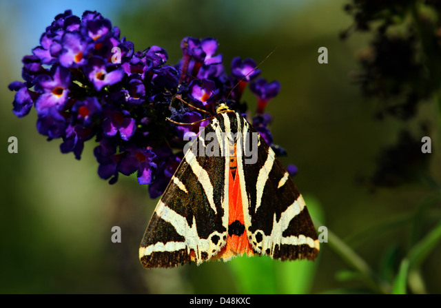 Jersey tiger moth feeding on verbena bonariensis, France - Stock Image