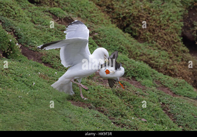 European Herring Gull (Larus argentatus) adult summer plumage, attacking Atlantic Puffin (Fratercula artica) attempting - Stock-Bilder