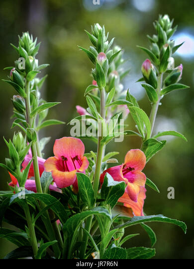 Apricot beauty foxglove plant in full bloom in a residential garden setting. - Stock Image