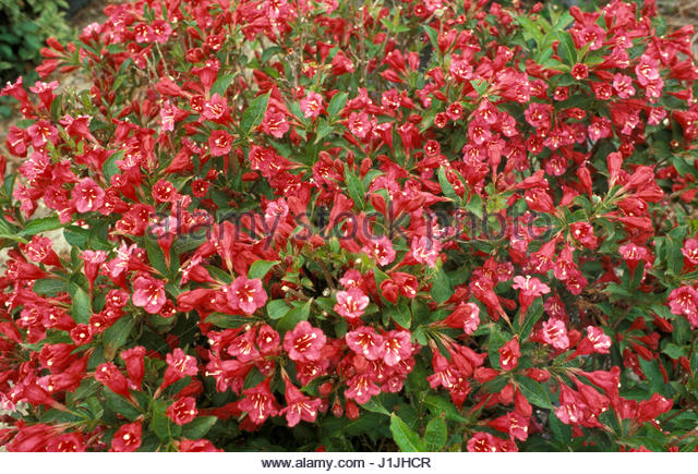 weigela bristol ruby stock photos weigela bristol ruby stock images alamy. Black Bedroom Furniture Sets. Home Design Ideas