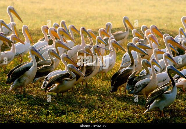 White Pelican Pelecanus onocrotalus India - Stock Image
