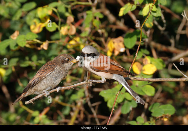 Red-backed Shrike (Lanius collurio), male feeding young with calcareous shell, Middle Elbe Biosphere Reserve, Saxony - Stock Image