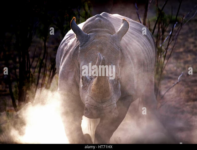 Rhino charge with dust - Stock Image