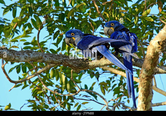 Two Hyacinth Macaws on a Branch. Pantanal, Brazil - Stock Image