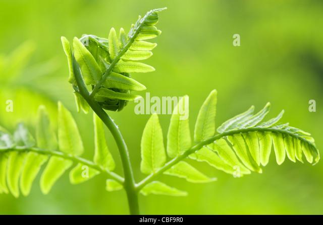 Osmunda regalis, Fern leaf unfurling, Green subject, Green background. - Stock Image