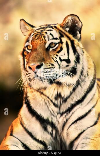 Sibirian tiger - portrait / Panthera tigris - Stock Image