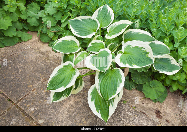 Variegated Ivy Stock Photos & Variegated Ivy Stock Images
