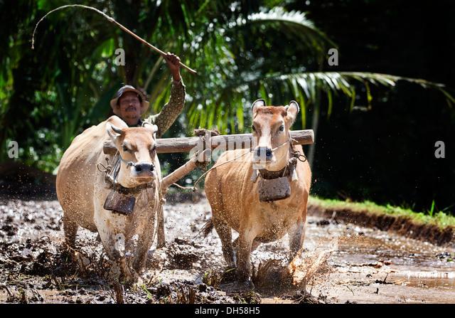 Indonesian farmer plowing a rice field with oxen, Terara, Lombok island, Nusa Tenggara Barat Province, Indonesia - Stock Image