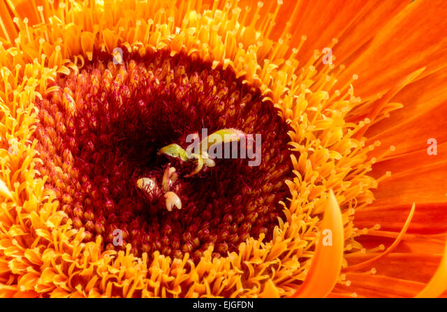 Close-up / Macro  of an Orange Gerbera Daisy - Stock Image
