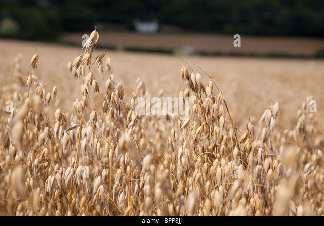 Oats ready for harvesting in field in Gloucestershire England UK. - Stock Image