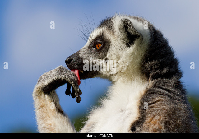 Close-up of a ring-tailed lemur (Lemur catta) licking its paw. Sunny blue sky and foliage background - Stock-Bilder