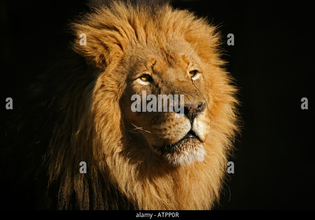 Portrait of a big male African lion (Panthera leo), against a black background, South Africa - Stock Image