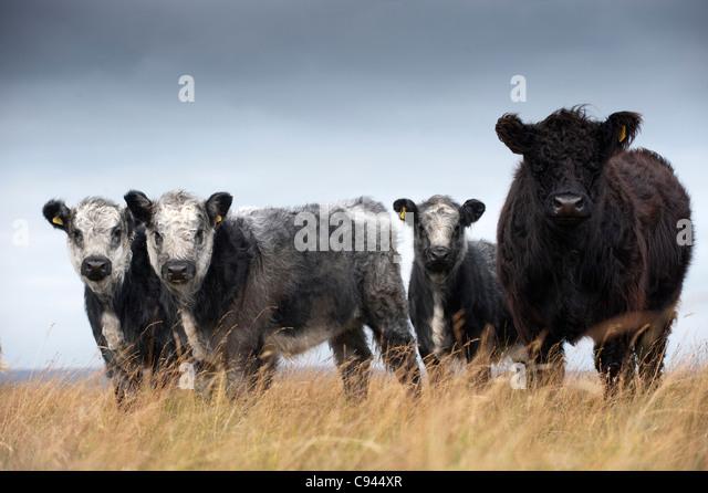 Blue Grey Cattle - Whitebred Shorthorn Cattle