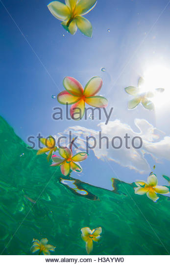 Underwater View Of Plumeria Floating On Water - Stock Image