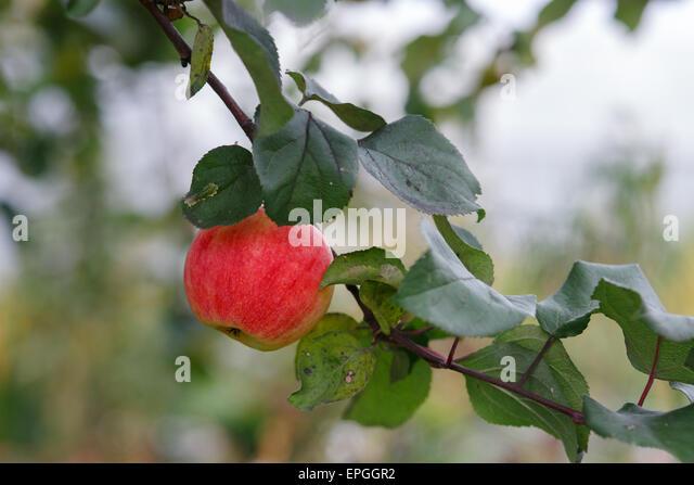 Apple on Tree - Stock Image