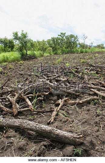 Deforestation in Masindi District Uganda for charcoal production. Many rural poor earn a living from producing charcoal - Stock Image
