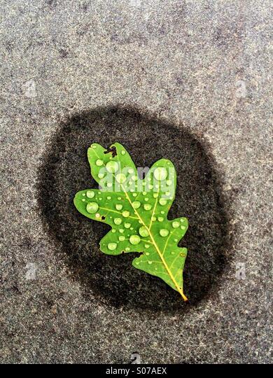 Single leaf with raindropsr - Stock Image