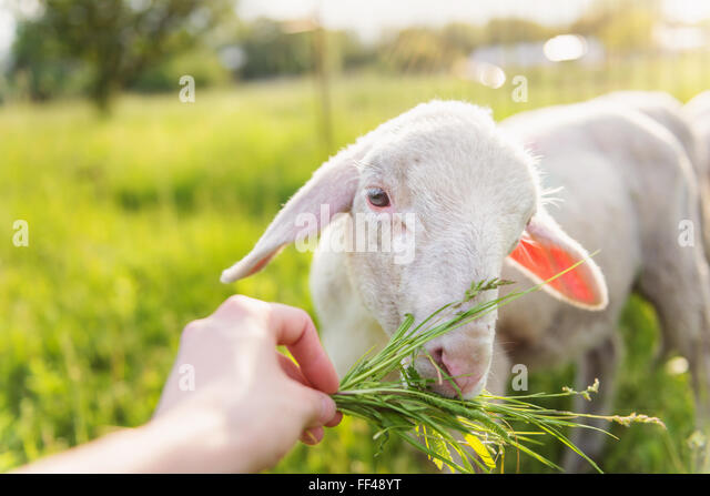 Detail of mans hand feeding sheep with grass. Sunny meadow. - Stock Image