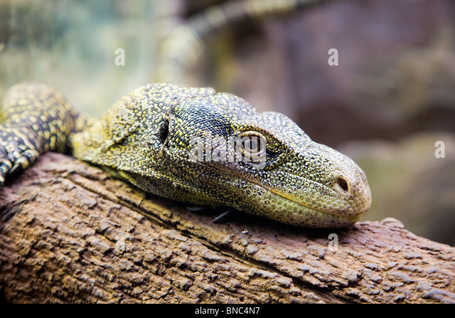 Green lizard resting on a trunk, closely watching you - Stock Image